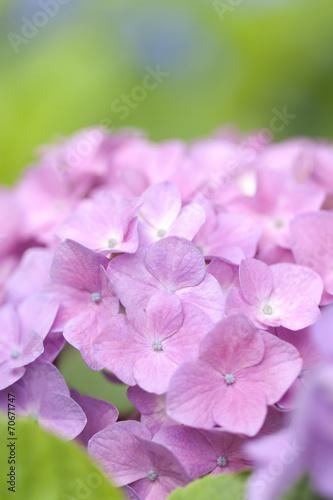Staande foto Roze アジサイの花
