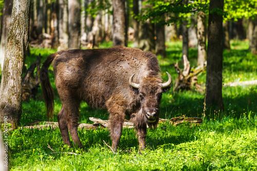 Foto op Canvas Bison European bison in Prioksko-Terrasny Nature Reserve