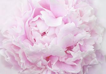 Fototapetapink peony petals close-up