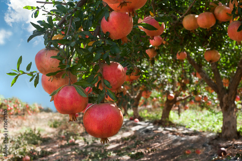 Ripe pomegranate fruits on tree branch.
