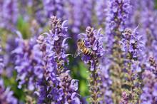 Bee Sucking Nectar On A Salvia Bloom