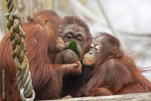 Door stickers Monkey Oeran oetans eten samen een komkommer.