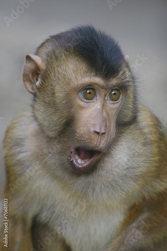 Canvas Prints Monkey Portrait van een Lampongaap