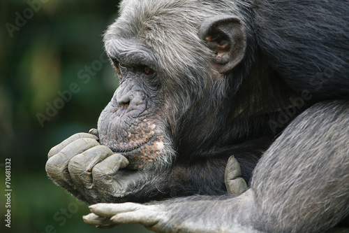 Canvas Prints Monkey Chimpansee in dromenland.