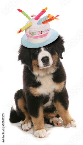 Burmese Mountain Dog Happy Birthday Hat
