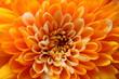 Leinwandbild Motiv Macro of orange aster flower