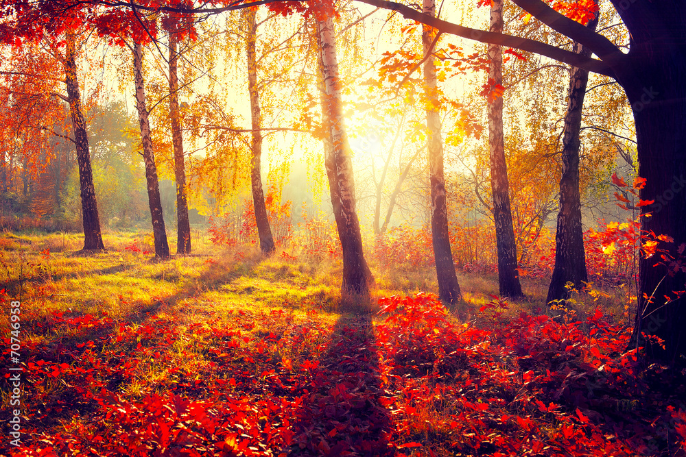 Fototapety, obrazy: Autumn. Fall. Autumnal trees in sun rays