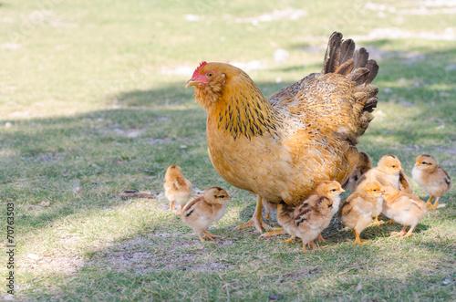Keuken foto achterwand Kip Hen with chicks on green grass