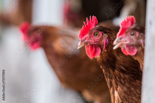 Foto op Canvas Kip Brown Chickens