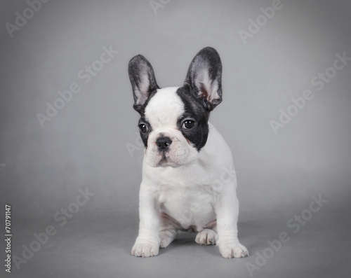 Poster Franse bulldog French Bulldog puppy