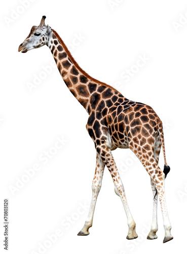Poster Giraffe Portrait of a giraffe isolated on white background