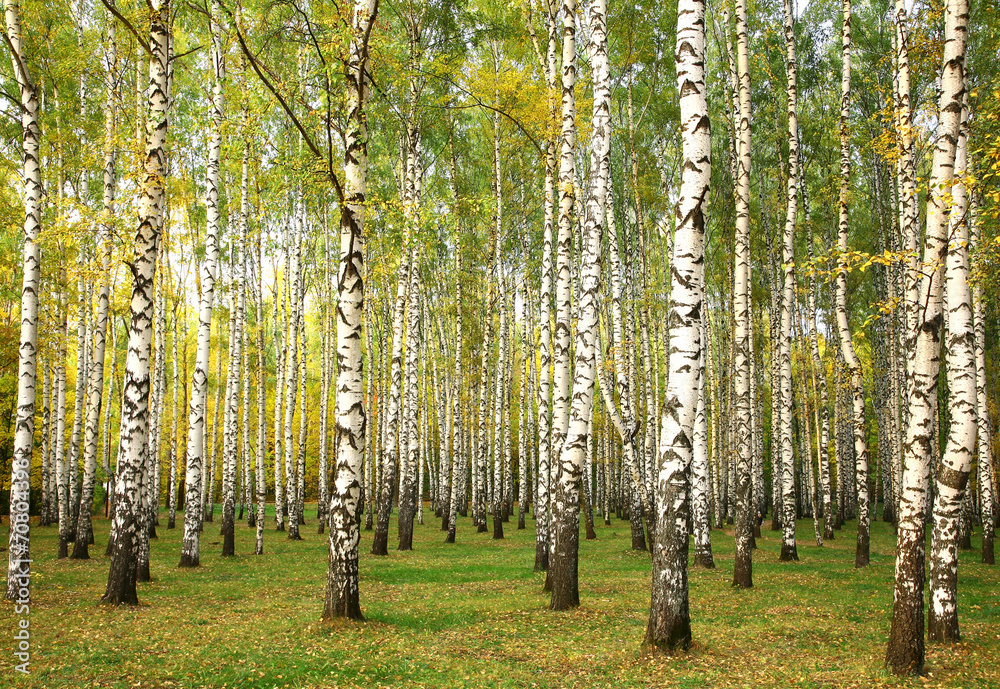Fototapeta Evening autumn birch forest in sunlight