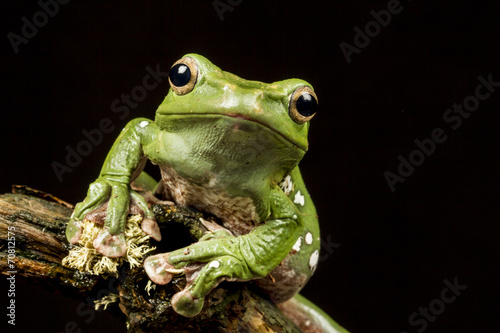 Spoed Foto op Canvas Kikker Vietnamese Blue (Gliding or Flying) Tree Frog (Polypedates denny