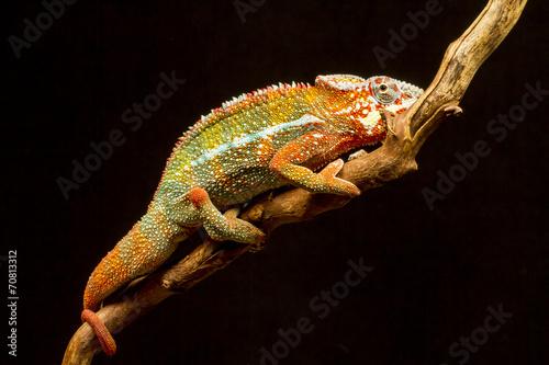 In de dag Panter Panther Chameleon (Furcifer pardalis)