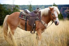 Haflinger Mare With Saddle