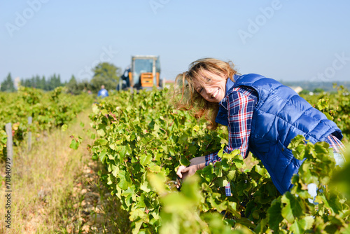 Fotografía  cheerful young woman harvesting grapes in vineyard