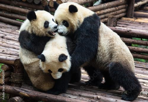 Fotografie, Obraz  Panda