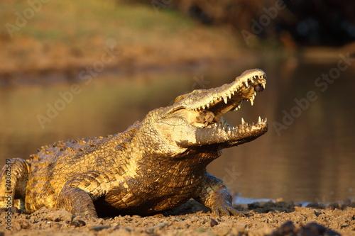 Papiers peints Crocodile Nile Crocodile