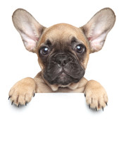 Puppy Over A White Banner