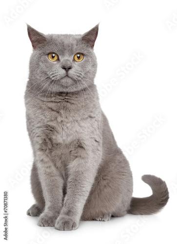 British Shorthair cat Принти на полотні
