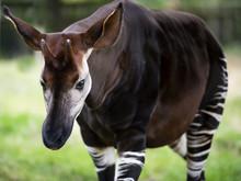 The Okapi Known As The Forest Giraffe Or Zebra Giraffe