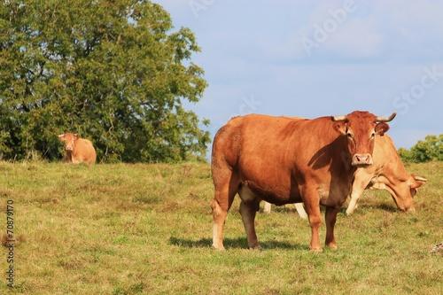 Papiers peints Vache La race bovine.
