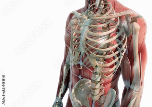 Oberkörper Anatomie Muskeln und Knochen – kaufen Sie diese ...