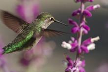 Selective Focus On An Anna's Hummingbird In Flight.