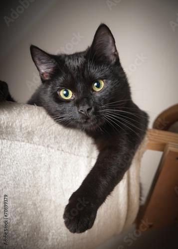 Tableau sur Toile Belle chat noir