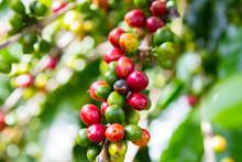 Ripe Coffee Beans (cherries)