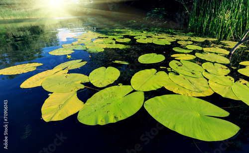 Poster de jardin Nénuphars Big water lily leafs