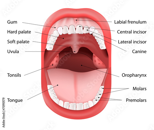 Human Mouth Anatomy Buy This Stock Vector And Explore Similar