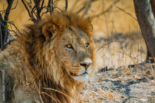 lion in africa Canvas Print