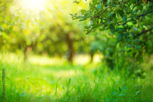 fototapeta na szkło Apple garden zielone tła słoneczny. Latem i jesienią sezon.