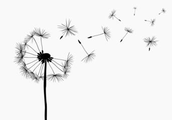 Fototapeta dandelions