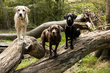 Three Colours Of Labrador