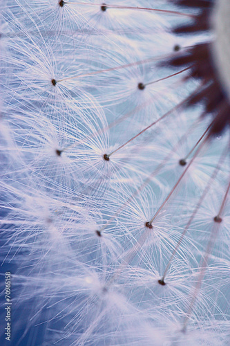dandelion seeds macro ease