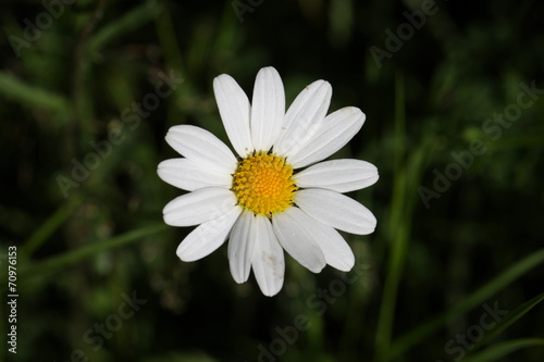 Papiers peints Narcisse Marguerite commune (Leucanthemum vulgare)