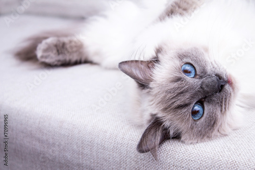 Canvas-taulu Blue colorpoint Ragdoll cat lying on the couch