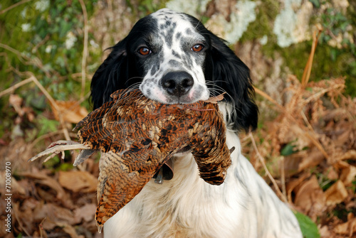 Poster Hunting setter anglais rapportant une bécasse