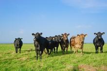 Herde Angus-Rinder Auf Einer Großen Weide