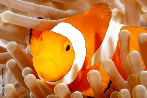 Fotografie, Obraz  Clown Anemonefish