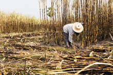 Workers Harvesting Sugarcane I...