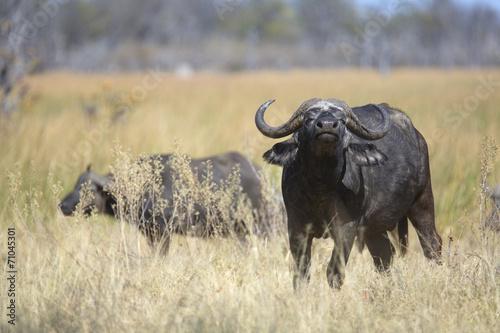 Papiers peints Buffalo Free african wild buffalo