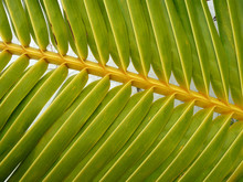 Giftgrünes Palmblatt