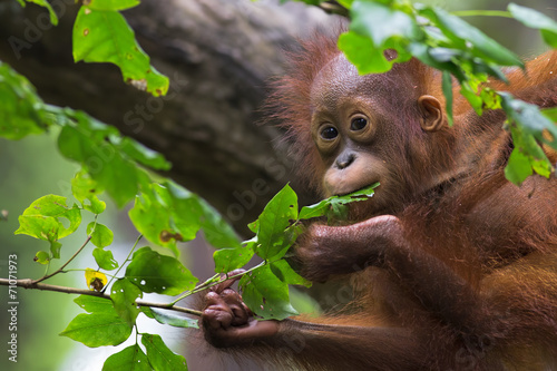 Borneo Orangutan Wallpaper Mural