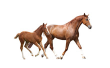 Chestnut Horse And Its Cute Fo...