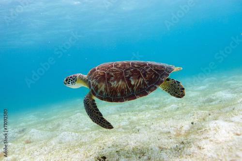 Foto op Canvas Schildpad Hawksbill sea turtle