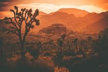 Joshua Trees California Desert