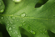 Young Oak Leaf With Rain Drops